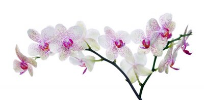 Wall mural light color orchid flower in pink spots on white