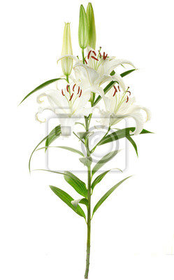 Wall mural Lily isolated on white, clipping path included