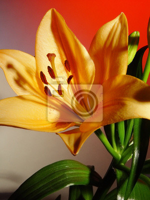 lily on a colored background