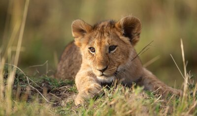 Wall mural Lion cub