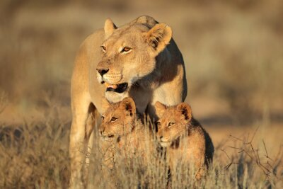Wall mural Lioness with young lion cubs (Panthera leo) in early morning light, Kalahari desert, South Africa.