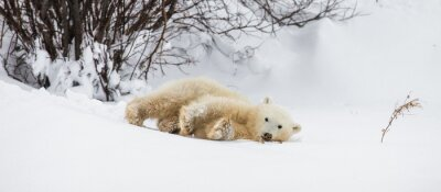 Wall mural Little Bear plays with a branch in the tundra. Canada. An excellent illustration.