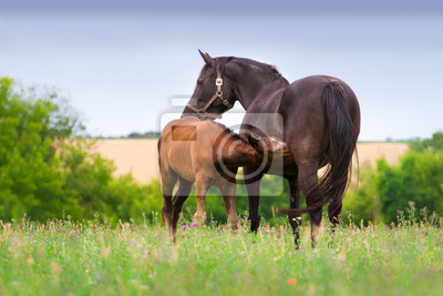 Little foal drink milk from mare in pasture