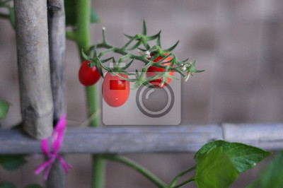 Little tomatoes in the garden