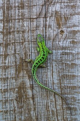 Wall mural lizard on a background of wooden planks