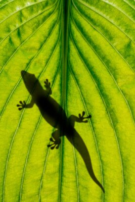 Wall mural lizard silhouette on green leaf close up in the detail