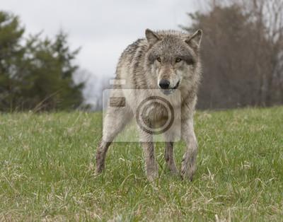 Lone Wolf in Meadow