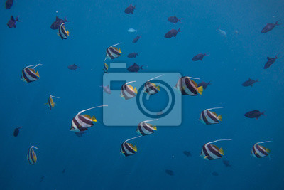 Long Finned Banner Fish