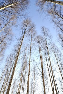Wall mural Looking upwards the white trunks of a group of naked birch trees