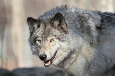 Wall mural loup gris d amérique