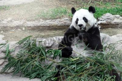 Wall mural Lovely panda eating bamboo