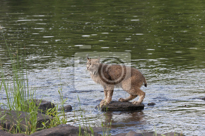 Wall mural Lynx on a Rock in the River