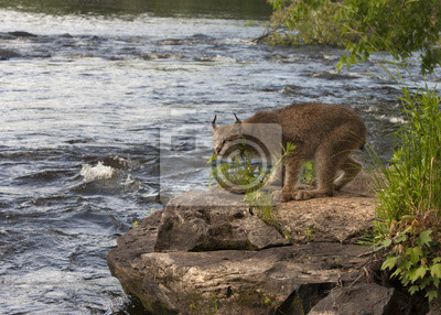 Wall mural Lynx on a Rock Next to a River