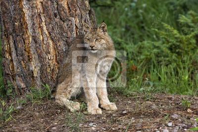 Lynx Sitting by Tree