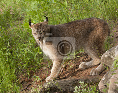 Wall mural Lynx with Ear Tufts Prominently Showing