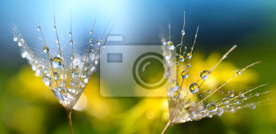Macro photo of dandelion seed with water drops. Spring background. Beauty of nature.