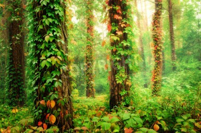 Wall mural Magic forest with trunks twined by colorful climbing wild grapes