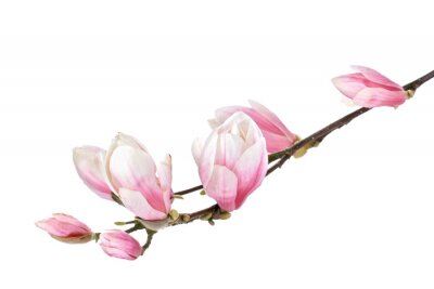 Wall mural Magnolia flower branch isolated on a white background