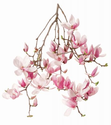 Wall mural Magnolia, flower branch isolated on white