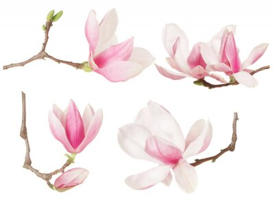 Wall mural Magnolia flower twig spring collection on white, clipping path