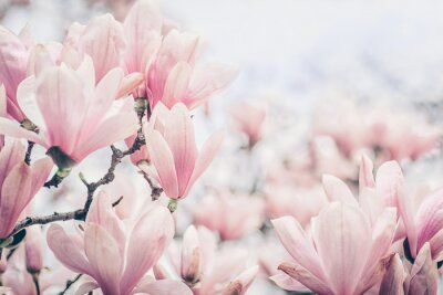 Wall mural Magnolia flowers in the morning light. Pastels colors