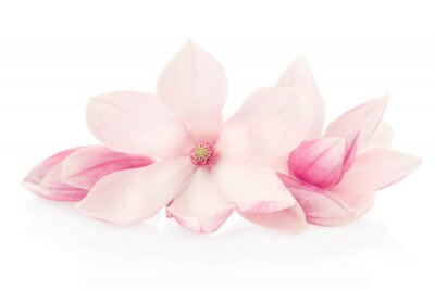 Wall mural Magnolia, pink flowers and buds group on white, clipping path