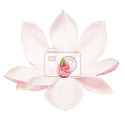 Wall mural Magnolia, spring flower isolated on white, clipping path