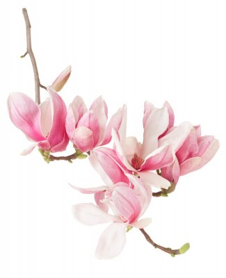 Wall mural Magnolia, spring pink flower branch and buds on white, clipping path