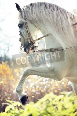 Wall mural Majestic royal white horse in move
