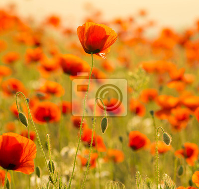 Maki polne-kwiaty