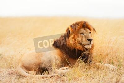 Wall mural Male lion lying in the grass at sunset in Masai Mara, Kenya