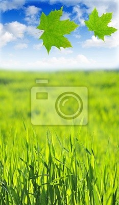 maple leaves and green field