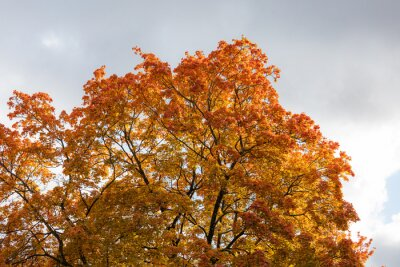 Maple tree foliage in autumn colors