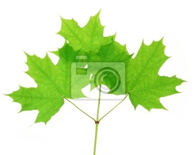 maple twig  with spring leaves