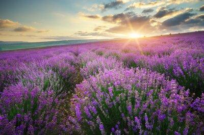 Wall mural Meadow of lavender.