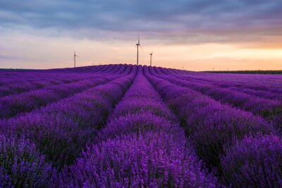 Wall mural Meadow of lavender. Nature composition. Selective focus
