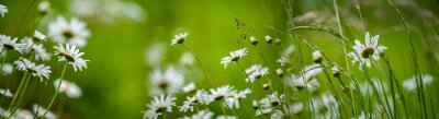 meadow with wild flowers - daisies and grass
