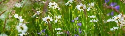 meadow with wild flowers - daisy, grass