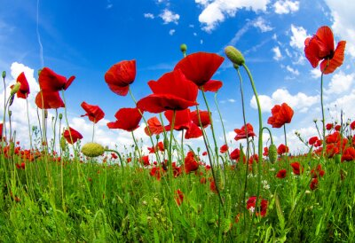 Wall mural meadow with wild poppies