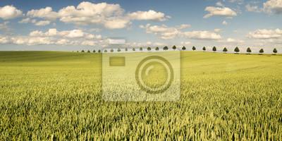 Młode ,dojrzewające zboże na polu