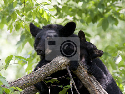 Momma Bear and Cub Snuggling in Tree