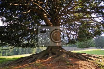 Monumental fir