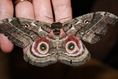 Wall mural Mopanie Moth