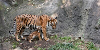 Wall mural Mother Tiger Playing with Her Cub