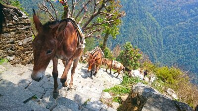Wall mural mountain donkeys in nepal