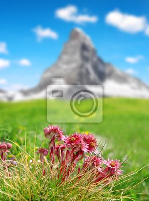 Mountain flower houseleek ( Sempervivum ) in Swiss alps, in the background mount Matterhorn.