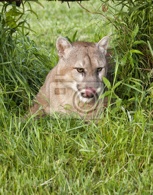 Mountain Lion Licking its Lips