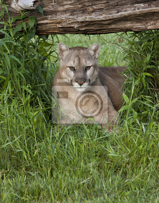 Mountain Lion Resting in the Shade of a Log