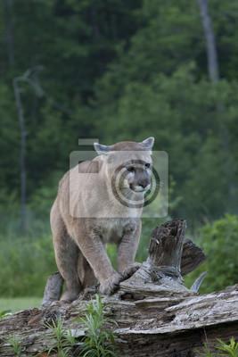 Mountain Lion Walking on Fallen Tree