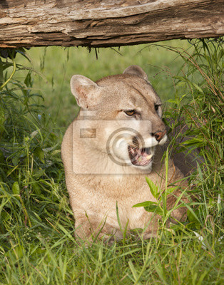 Wall mural Mountain Lion with Mouth Open
